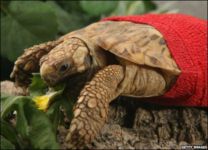 Five-year-old, Polly, an African pancake tortoise, who is recovering after an operation to remove a bladder stone the size of a small egg, tucks into her dinner