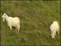 Goats have grazed on the Great Orme for 100 years