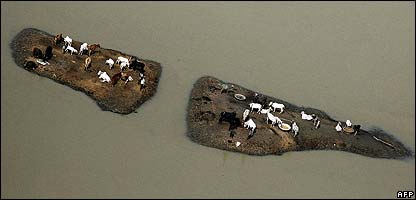 Cattle escape flood waters in India