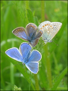 Evan's photo of a common blue butterfly roost
