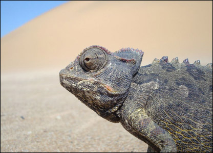 Joy's photo of the Namaqua desert chameleon
