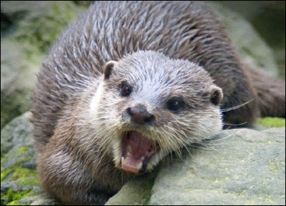 Curtis' photo of an otter