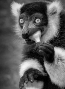 Curtis' photo of a lemur