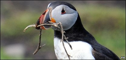 An adult puffin