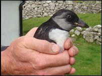 A puffling on St Kilda