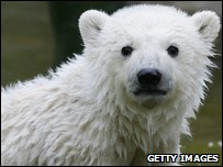 Knut as a polar bear cub