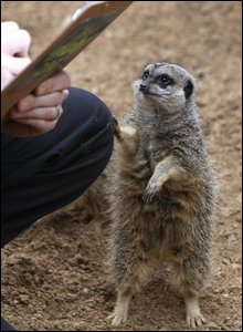A meercat investigates a clipboard during the annual animal count .(AP Photo/Kirsty Wigglesworth)