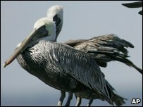 Brown pelicans in America