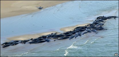 Some of the stranded whales