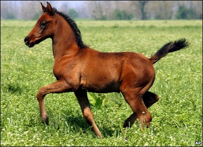Pieraz-Cryozootech-Stallion runs in a field near Cremona, Italy. The foal, born in February 2005, is the first horse clone produced from a race-winning champion.