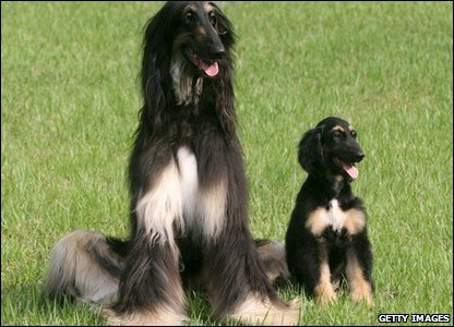 Then in August 2005 in South Korea it was announced that the first dog had been successfully cloned. Snuppy, the Afghan hound, sits with his genetic father.