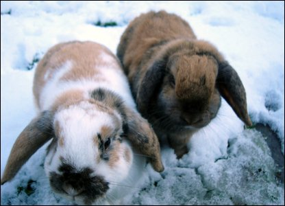 Tilly's rabbits in the snow