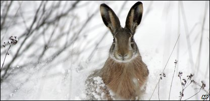 A hare running in the snow
