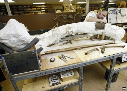 Assistant lab supervisor Trevor Vallecleaning part of one of Zed's 10-foot-long tusks