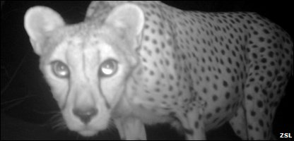 A cheetah that's been photographed by scientists in the Algerian Sahara
