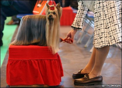 A Yorkshire Terrier being groomed at Crufts