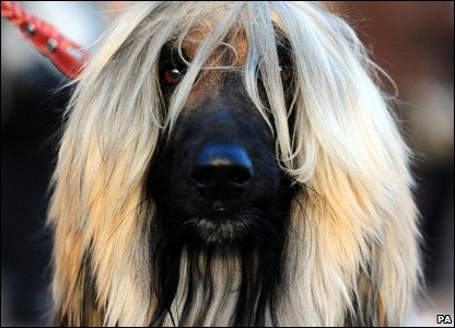An afghan at Crufts