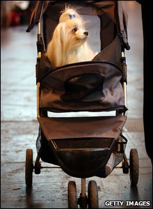 A Maltese dog in a pram