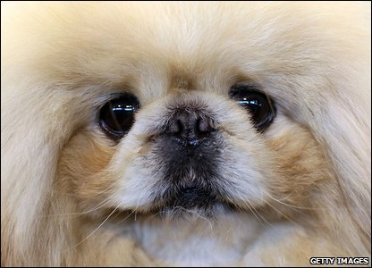 A Pekingese dog at Crufts