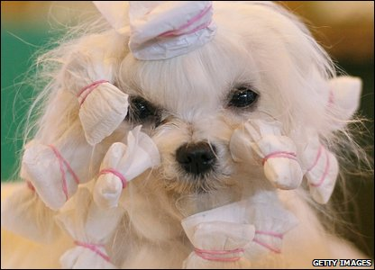 A dog being groomed at Crufts