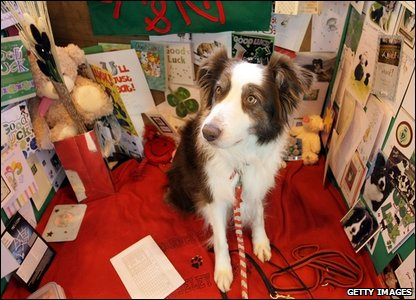 Ripley the collie sits surrounded by his good luck cards