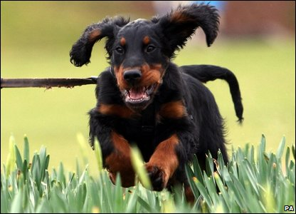 Lewis, a 12-week-old gordon setter at Crufts