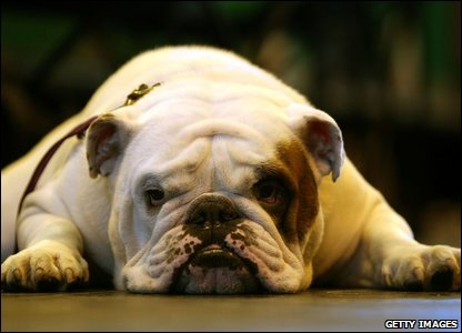 A bulldog at Crufts