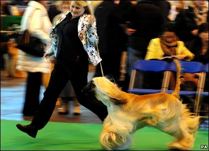 An afghan on show at Crufts