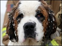 Duke, a 16-month-old St. Bernard dog (AP Photo/Billings Gazette, Casey Riffe)