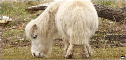 Mayflower the shetland pony (Photo by Chris Ison/PA Wire)