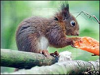 A baby red squirrel