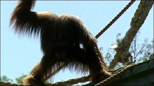 Karta the orangutan in her enclosure