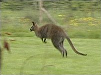 One of Josh's wallabies
