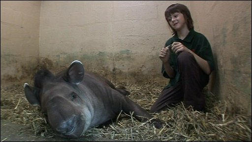 Press Packer Harry at the zoo with one of the tapirs