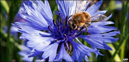A honey bee on a cornflower