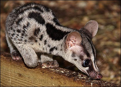 Owston's Civets