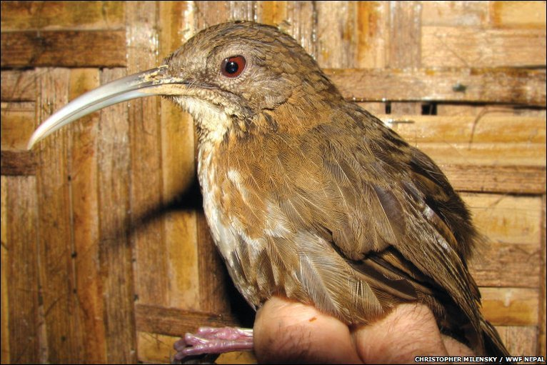 Brown Bird with Long Beak http://news.bbc.co.uk/earth/hi/earth_news/newsid_8189000/8189937.stm