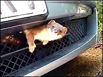 Stoat stuck in the car grille