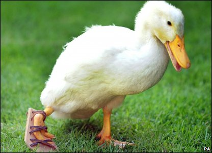 Lucky the duck modelling her sandal