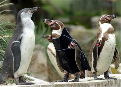 Ralph in his wetsuit with other penguins
