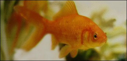 Cbbc newsround animals flushed fish survives sewer trip for Golden fish pipe