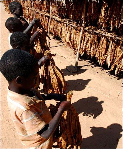 Slaves Working in Tobacco Fields