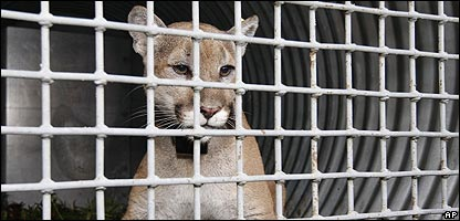 A captured cougar