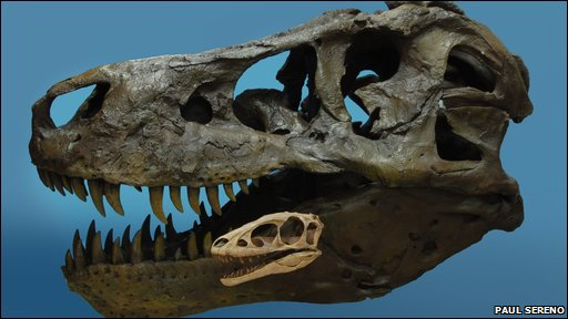 The skull of Raptorex kriegsteini is dwarfed by the skull of a full-sized T Rex (Photo: Paul Soreno)