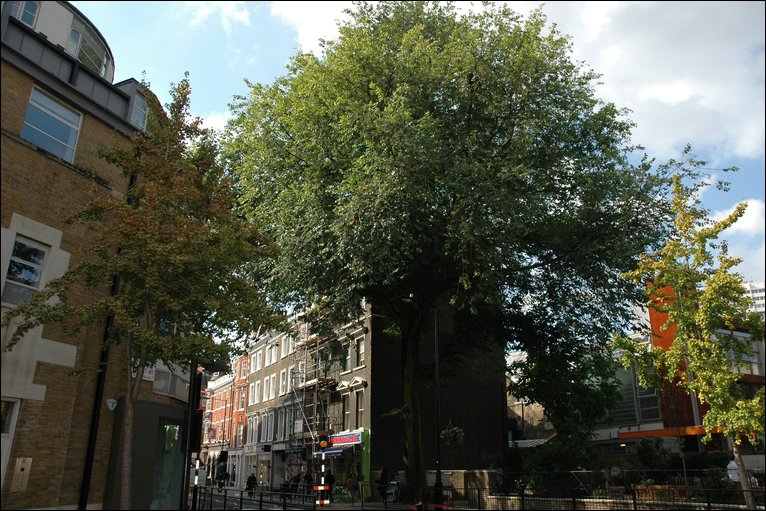 elm tree pictures. the last Elm tree standing