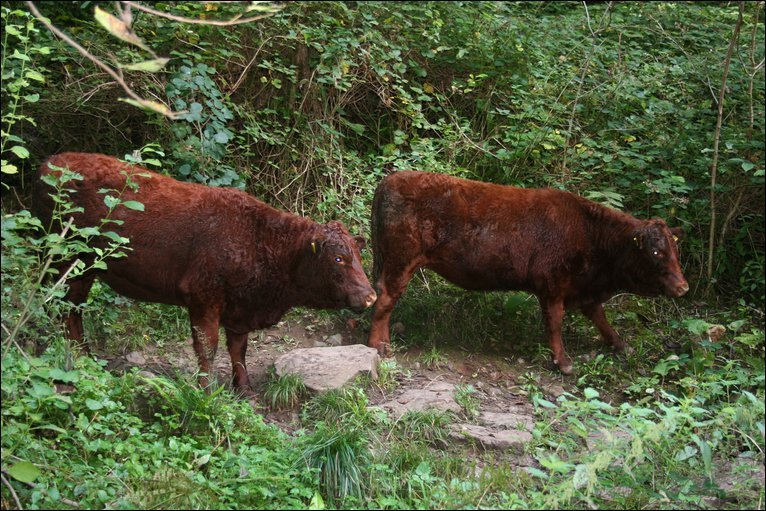 Bbc Bristol In Pictures Leigh Woods Cattle