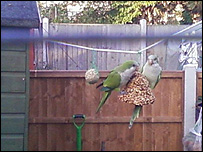 Parakeets on the Isle of Dogs