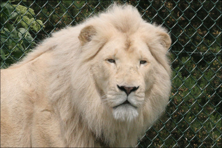White lion face images - photo#9