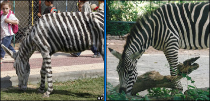 L-R: The donkey dyed to look like a zebra in Gaza, and a real zebra in Singapore