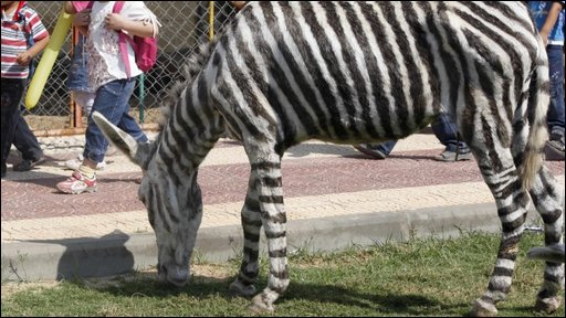 One of the donkey's that's been dyed to look like a zebra
